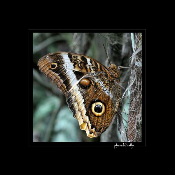 papillonhibou dans Qu'est-ce que c'est?